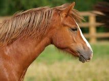 威尔士小马头射击 免版税库存图片