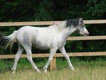 威尔士小马小跑 免版税库存图片