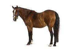 威尔士小马- 17岁,马属ferus caballus 免版税库存照片