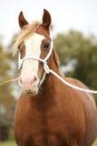 威尔士小马画象与白色绳索展示三角背心的 图库摄影