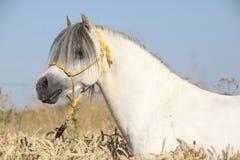 威尔士山小马华美的白色公马  库存图片