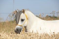 威尔士山小马华美的白色公马  免版税库存图片