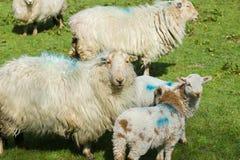 威尔士山绵羊和羊羔 图库摄影