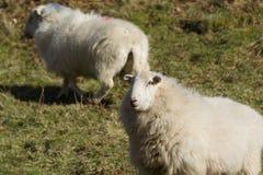 威尔士山绵羊 库存照片
