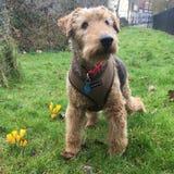 威尔士狗在狗公园 免版税库存图片