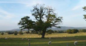 威尔士风景:吃草绵羊 免版税库存照片