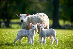 威尔士绵羊在布雷肯比肯斯山国家公园 库存照片