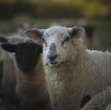 威尔士绵羊 英国 免版税库存图片