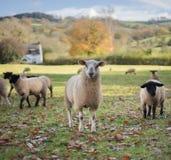 威尔士绵羊 免版税库存照片