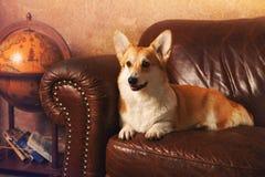 威尔士说谎在一个棕色沙发的小狗彭布罗克角在办公室 免版税库存照片