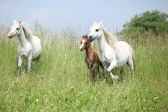 威尔士ponnies跑 图库摄影