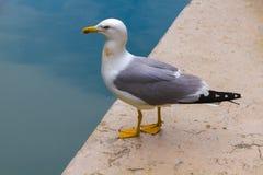 威尼斯,意大利- 2016年5月5日 由威尼斯式运河的恼怒的海鸥 免版税库存图片