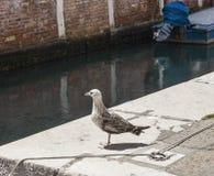 威尼斯,意大利-海鸥 免版税库存图片