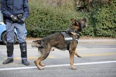 威岑扎, VI,意大利- 2017年1月28日:德国牧羊犬警察 库存图片
