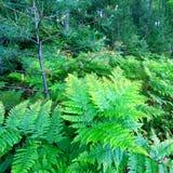 威斯康辛蕨森林风景 免版税库存图片