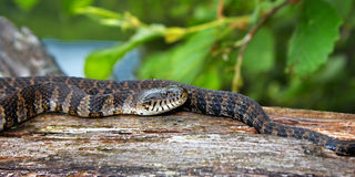 威斯康辛野生生物北水蛇 免版税库存图片