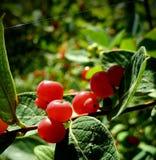 威斯康辛野生莓果 库存照片