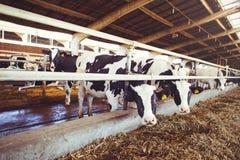 威胁农业的农厂概念,农业和牲畜-在奶牛场的一个谷仓使用干草母牛的牧群  库存图片