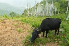 威胁吃草在领域, paro,不丹 免版税库存图片