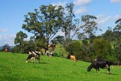 威胁吃草的牛奶店 免版税库存图片