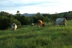 威胁吃草的牛奶店 免版税图库摄影