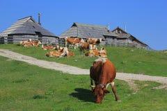 威胁吃草, Velika planina,斯洛文尼亚 免版税库存图片