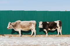 威胁在雪的立场与绿色金属墙壁 图库摄影