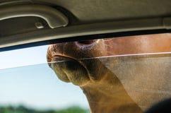 威胁头在徒步旅行队的一个车窗外 库存图片