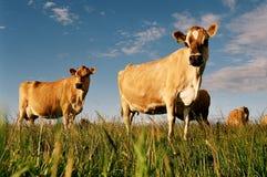 威胁牛奶店小牧场 免版税库存照片