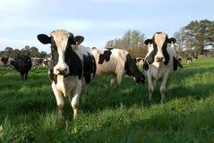 威胁牛奶店 免版税库存图片