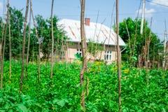 威胁生长在后院庭院里的豌豆植物在太阳下 库存照片