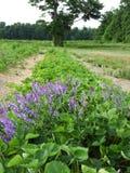 威胁生长在NYS的草莓补丁中的巢菜属植物 免版税库存照片