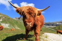 威胁高地苏格兰人 免版税库存图片