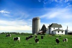 威胁黑白花牛牧场地 库存图片