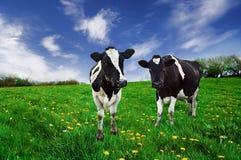 威胁)弗里斯兰奶牛 库存图片