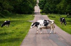 威胁)弗里斯兰奶牛 免版税库存照片