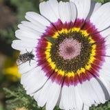 娜奥美花在雏菊花的金龟子甲虫 免版税库存图片