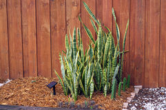 婆婆植物对墙壁在后院庭院里 图库摄影