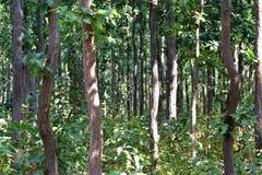 婆罗双树密林  库存图片