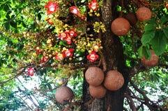 婆罗双树树炮弹树 免版税库存图片