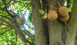 婆罗双树树,炮弹树 库存图片