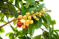 婆罗双树树 库存照片