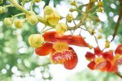 婆罗双树花 免版税库存照片