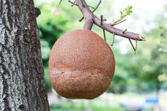 婆罗双树水果树 图库摄影