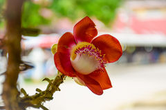婆罗双树 免版税库存图片