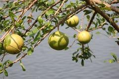 婆罗双树 库存照片