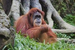 婆罗洲印度尼西亚猩猩类人猿pygmaeus 免版税库存图片