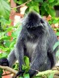 婆罗洲叶子猴子银 免版税库存照片