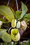 婆罗洲捕虫草 库存图片