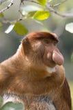 婆罗洲猴子象鼻 免版税库存照片